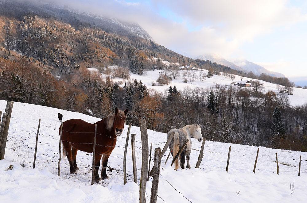 Photographe Patrimoine Et Traditions Dans Les Alpes : Chevaux Sous La Neige