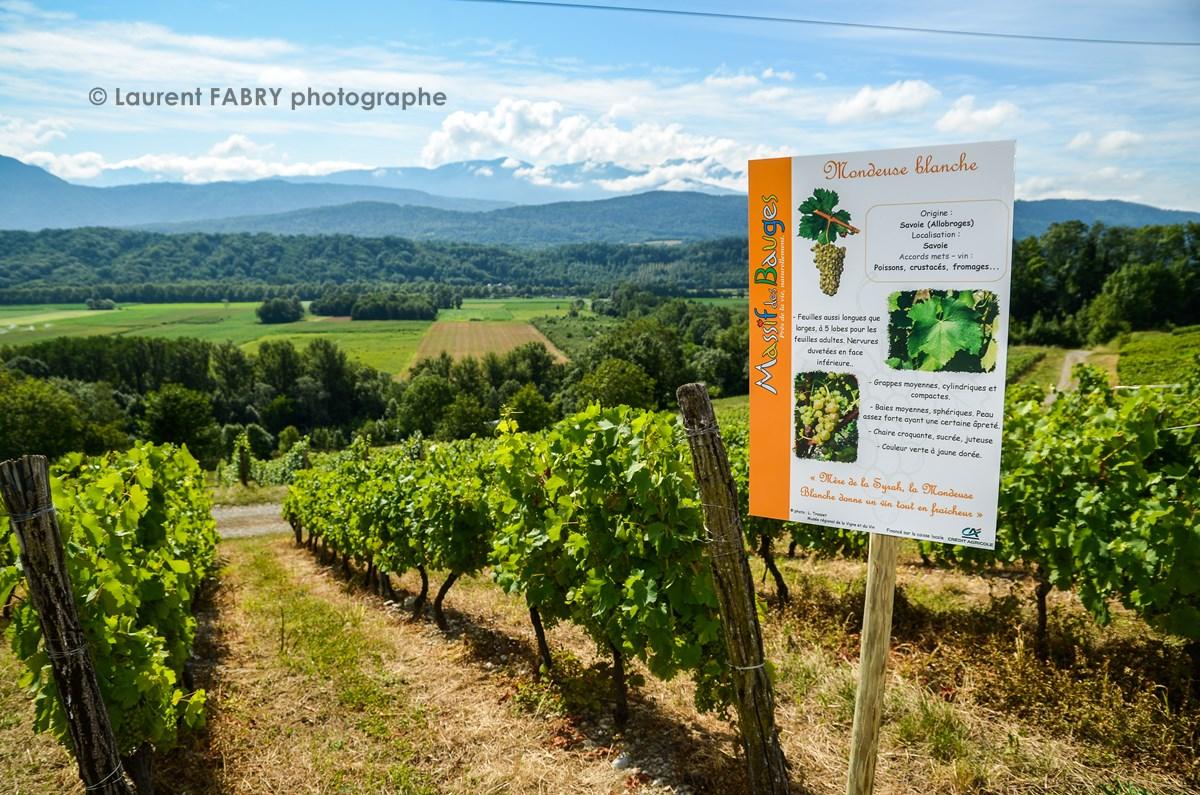 des panneaux d'informations sur les cépages de vignes cultivés en Savoie lors de la balade gourmande