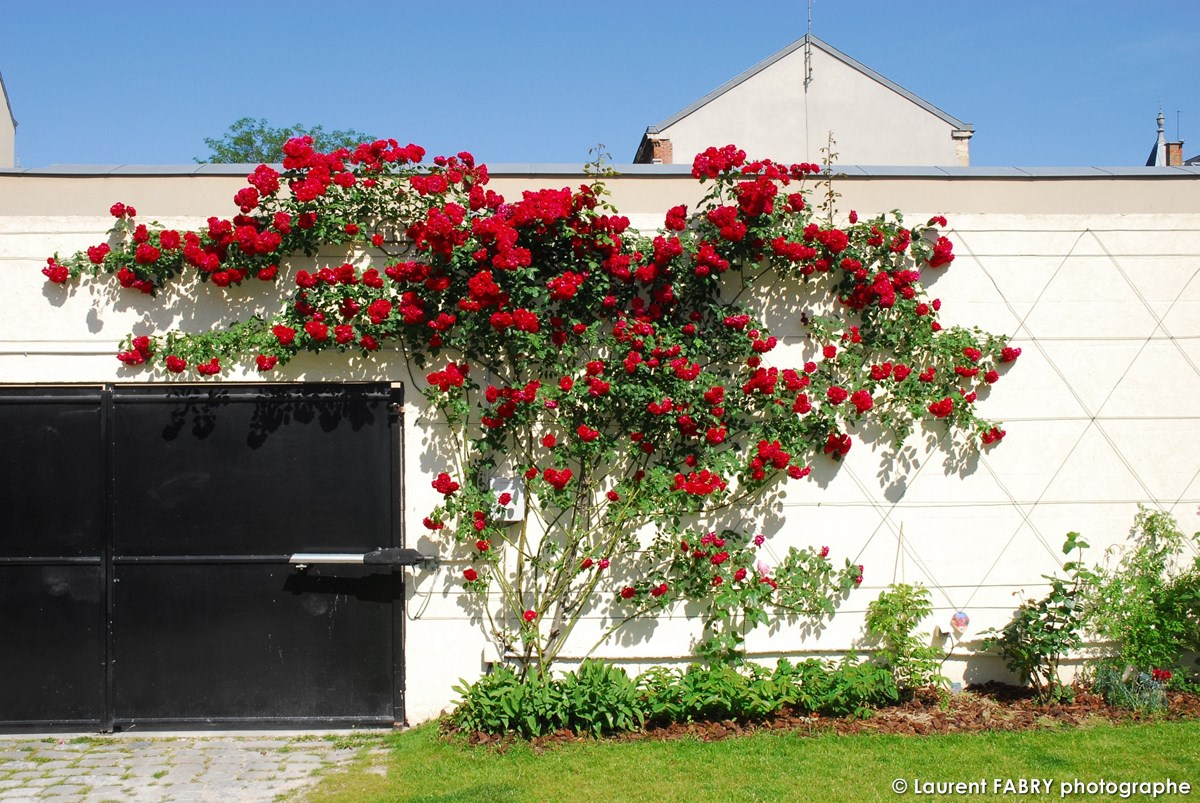 Photographe Architecte Paysagiste : Un Rosier Grimpant Le Long Du Mur Du Jardin
