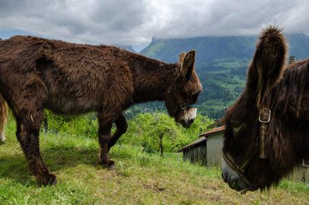 Photographe Patrimoine Et Traditions Dans Les Alpes : Des ânes En Chartreuse