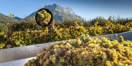 Photographe En Décoration De Bureaux Dans Les Alpes : Vendanges Dans Le Vignoble De Savoie