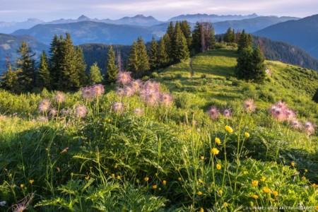 Anémones Sous La Roche Parstire, Massif Du Beaufortain, Savoie - Mountain Flowers In Beaufortain Range, Savoie