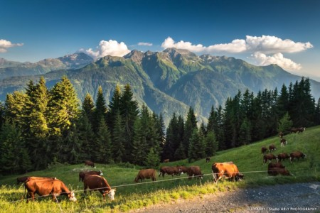 Paysage Des Alpes Dans Le Beaufortain : Le Mont Blanc Un Troupeau De Vaches Tarines Et Abondances Devant Le Mont Mirantin